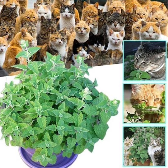 Nepeta Cataria cat mint 500 CATNIP SEEDS